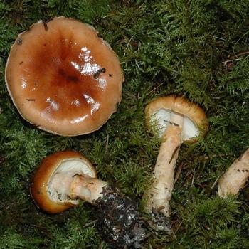 Лимацелла клейкая (Limacella glioderma)  и Лимацелла масляная (Limacella illinita)