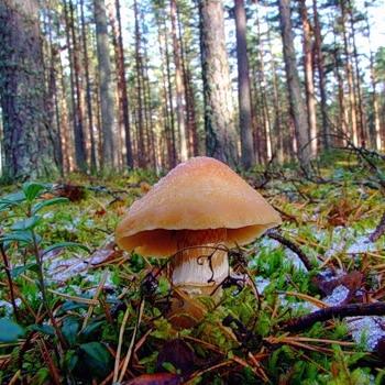 Колпак кольчатый — съедобный гриб