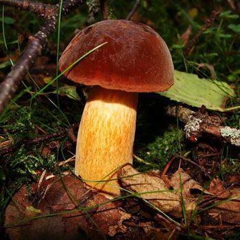Дубовик: виды грибов – обыкновенный и крапчатый