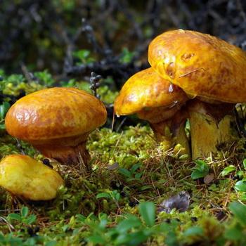 съедобные грибы фото и названия и описание внешности
