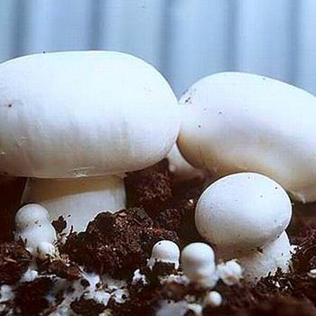Увеличение промышленного производства грибов в России