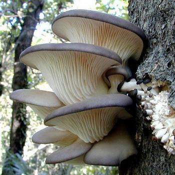 Сбор грибов вешенок: советы начинающим грибникам