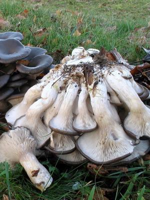 Где и как растут грибы вешенки в лесу