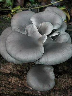 Ядовитые грибы – двойники вешенок
