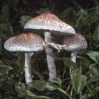 Ложный гриб зонтик: описание и распространение