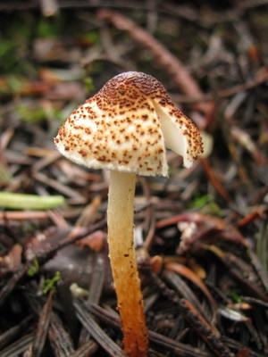 Несъедобные двойники: ядовитые грибы зонтики