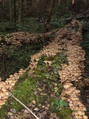 переросший белый гриб фото