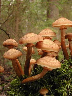 Опята в Ленинградской области: лучшие грибные места