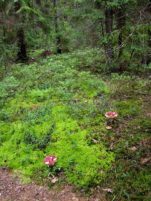 Где растут сыроежки и как выглядят эти грибы