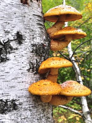 Опята, растущие на берёзах: съедобные и ложные грибы