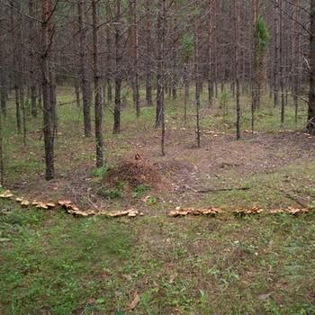 Время и условия роста грибов опят в лесу