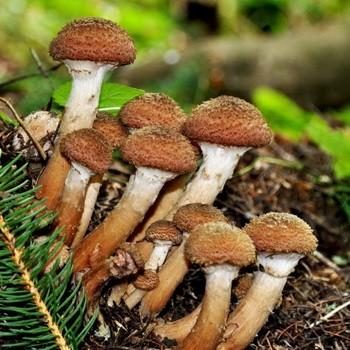 Где и когда собирать грибы опята в Башкирии