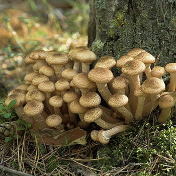 Осенние и «успенские» опята в Тульской области