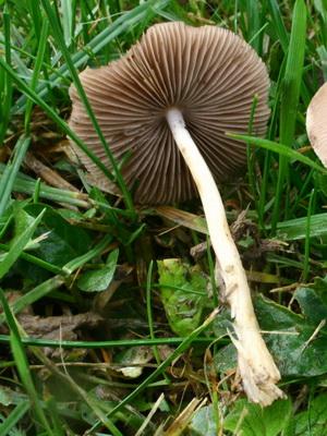 Виды ядовитых опят и как их отличить от съедобных грибов