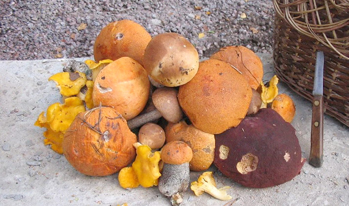 Как правильно обработать грибы грузди после сбора
