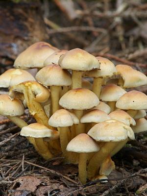 Гриб королевский опенок (чешуйчатка золотистая)