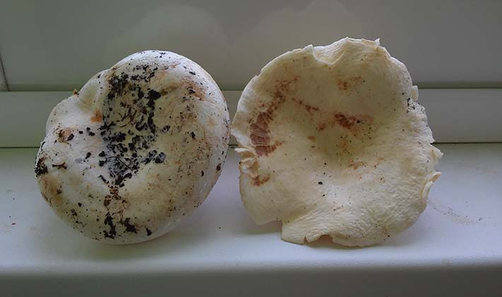 грибы похожие на белые грузди фото и описание