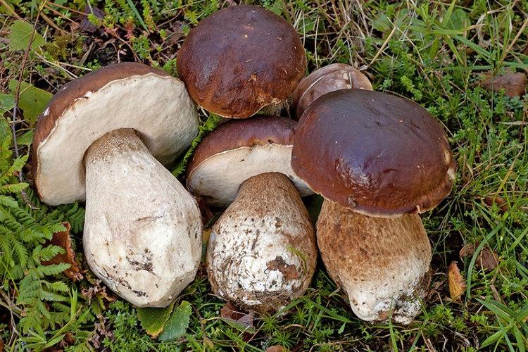 Как приготовить маринованные белые грибы