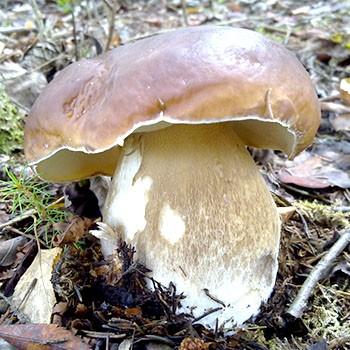 Как правильно обработать белые грибы после сбора