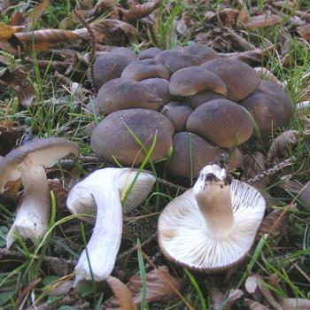 Как обрабатывать грибы рядовки после сбора