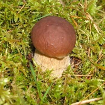 Условия роста белых грибов: время, места и температура
