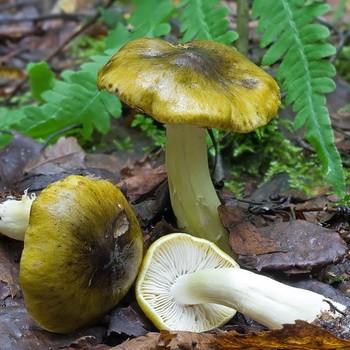 Рядовка обособленная: описание и фото гриба