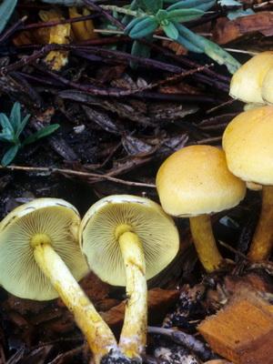Отличия ложных осенних опят от съедобных грибов