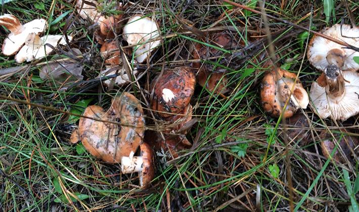 Рядовка бело-коричневая: фото и описание гриба