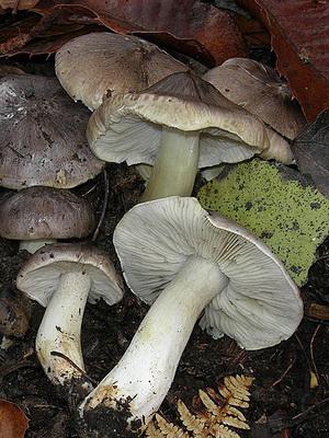 Съедобные грибы рядовки в Приморье