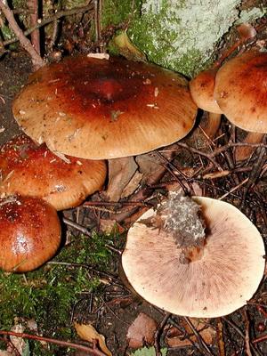 Рядовка рыжая: описание и фото условно-съедобного гриба