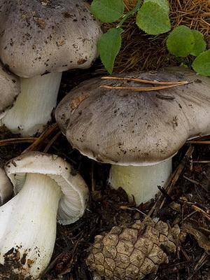 Виды грибов рядовок в Подмосковье