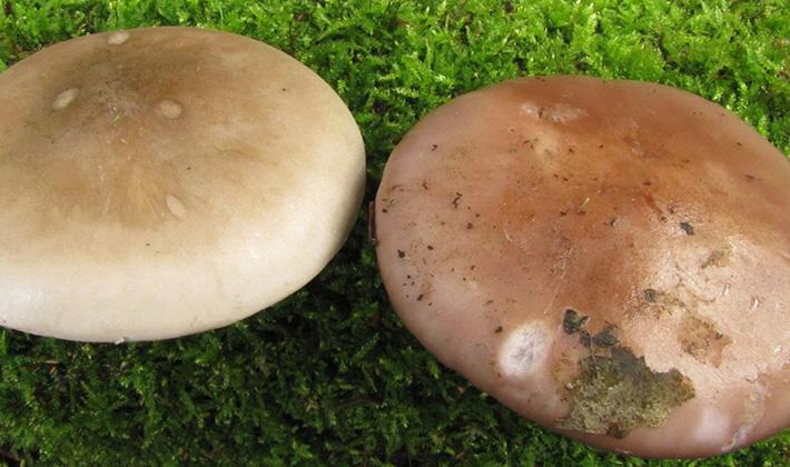 как готовить грибы рядовки фото