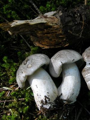Ядовитые грибы, похожие на серые рядовки