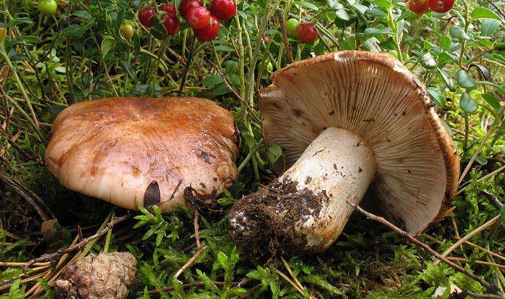 Когда собирать грибы рядовки в лесу?