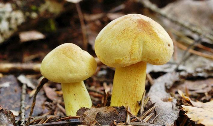 Несъедобный гриб рядовка серно-жёлтая