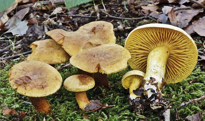 рядовки жёлтые грибы фото