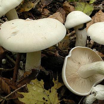 грибы съедобные все фото