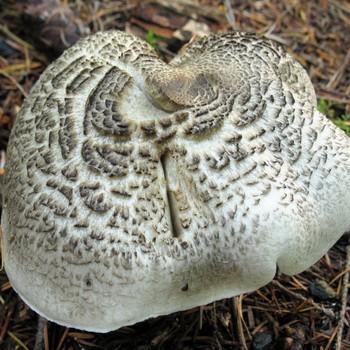 Ядовитый гриб рядовка тигровая (леопардовая)