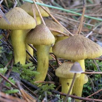 Рядовка еловая: фото и отличия от других грибов