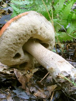 Ложные подосиновики: фото и описание грибов