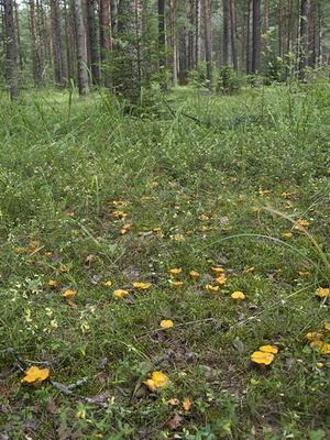 Где растут грибы лисички на территории России