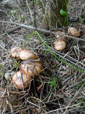 Рыжики в Самарской области: лучшие места для сбора грибов