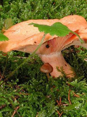 Ложные рыжики и их отличия от настоящих грибов