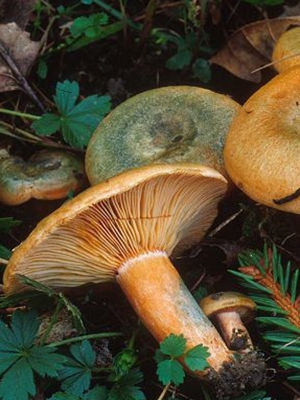 Как правильно мыть грибы рыжики перед приготовлением