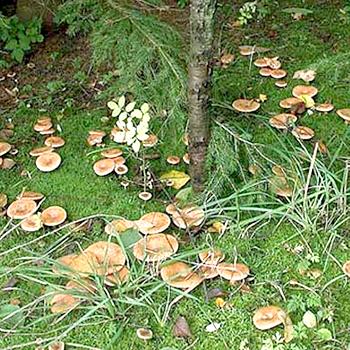 Как готовить рыжики – одни из самых поздних грибов