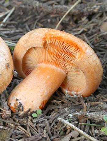 Как отличить рыжики от других видов грибов