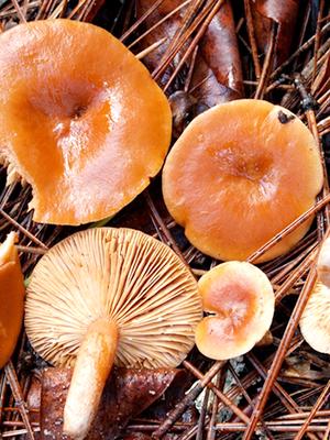 Чем полезны грибы рыжики в сыром, соленом и маринованном виде?