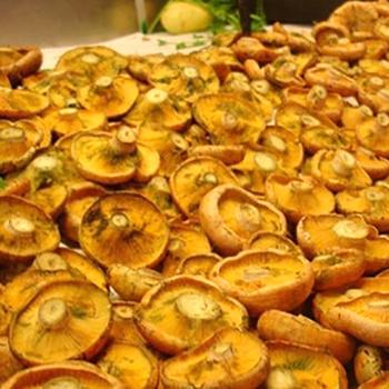 Блюда из сырых рыжиков и заготовки на зиму