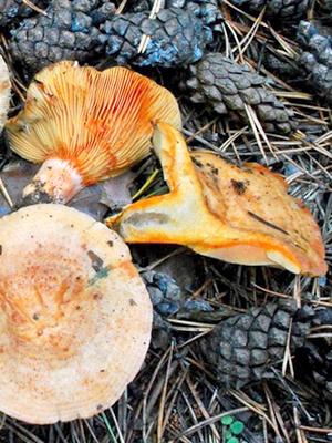 грибы в кировской области 2015 картинки и названия
