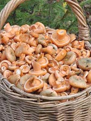 Рыжики в Кирове и Кировской области: самые грибные места